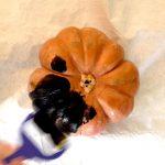 citrouille halloween en cours