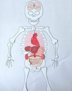 Squelette et organes à imprimer